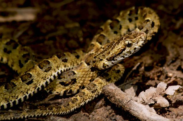 Descubren una nueva especie de serpiente venenosa endémica de Perú