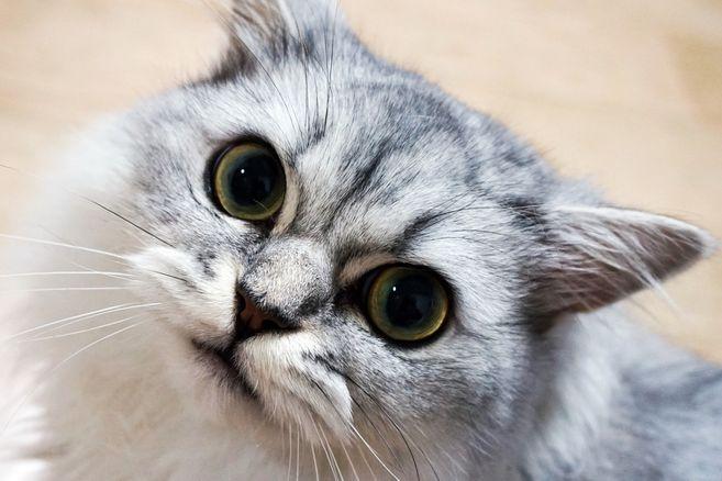 Es necesario controlar su alimentación para que el gato persa se mantenga en buena forma.