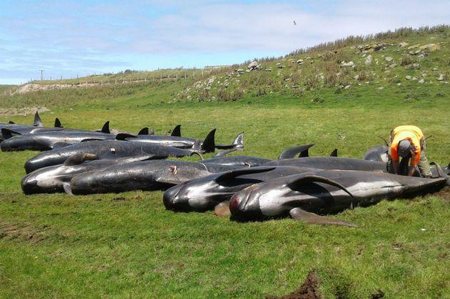 Nuevas muertes de ballenas en Nueva Zelanda, ya van 150 esta semana