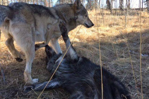 Ámarok, el lobo gris rescatado en Antioquia, consiguió pareja