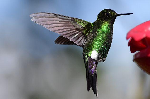 Colombia busca de nuevo ganar la competencia de aves más importante del mundo