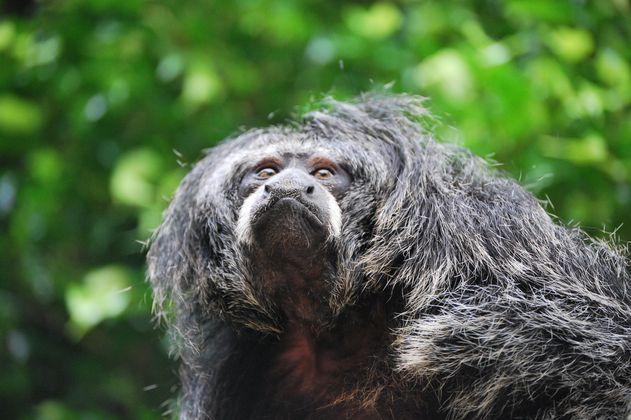 Listo el primer atlas de primates de Colombia