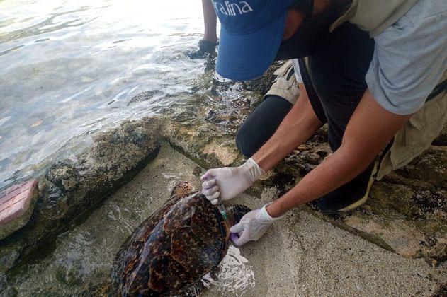 Rescatan tortuga marina herida por personas inescrupulosas