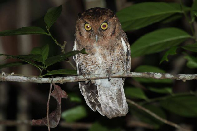 Encuentran dos nuevas especies de búhos en la selva amazónica
