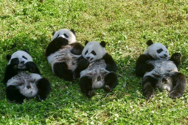Dos pandas gemelos en China se convierten en la nueva esperanza para la especie