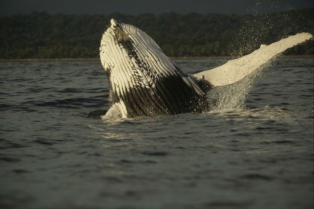 Las ballenas y los delfines responden a los gritos asesinos de las orcas