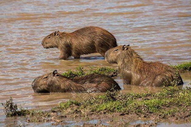 Cae presunta red de caza ilegal de chigüiro que vendía su carne en malas condiciones