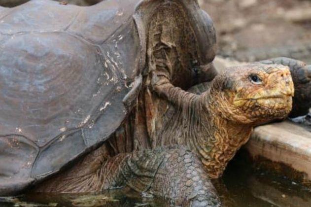 Conozca la historia de la tortuga que ayudó a salvar a su especie en Galápagos