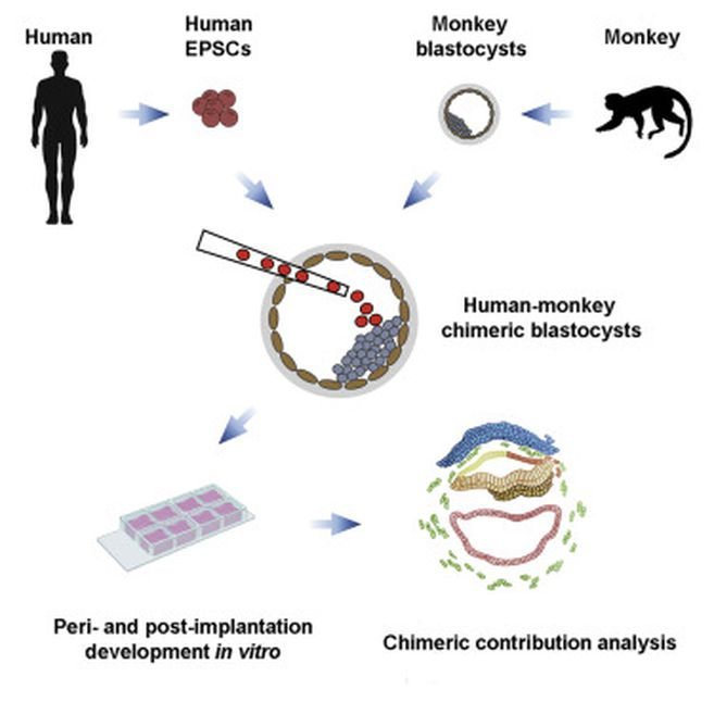 Científicos inyectaron células madre humanas en embriones de primates y han podido cultivar estos embriones quiméricos durante un periodo de tiempo considerable.