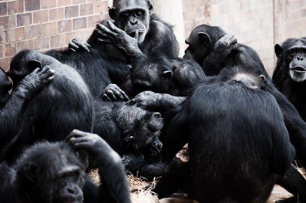 Los grandes simios se saludan y se despiden