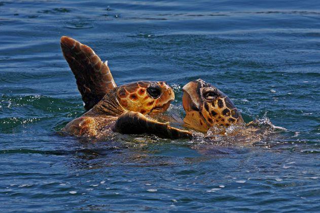Dos tortugas hermanas se reencuentran en Valencia tras surcar el mar siete meses
