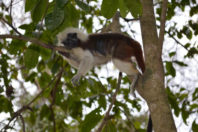 Las tres especies de primates más amenazadas en Colombia