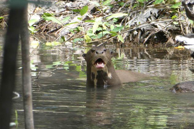 Buenas noticias de un censo de nutrias en la Orinoquía
