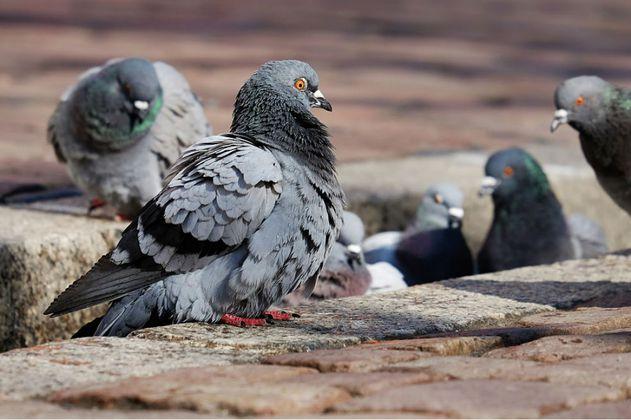 La ciudad que logró reducir la población de palomas con anticonceptivos