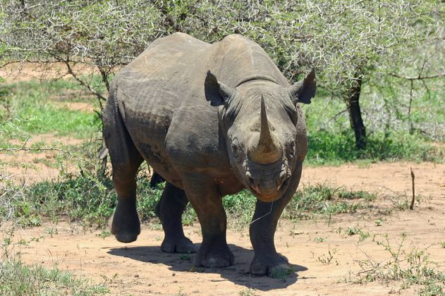 Muere el último de los rinocerontes negros trasladados a un parque en Kenia