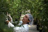 Duque firma decreto para exportar cannabis para uso medicinal