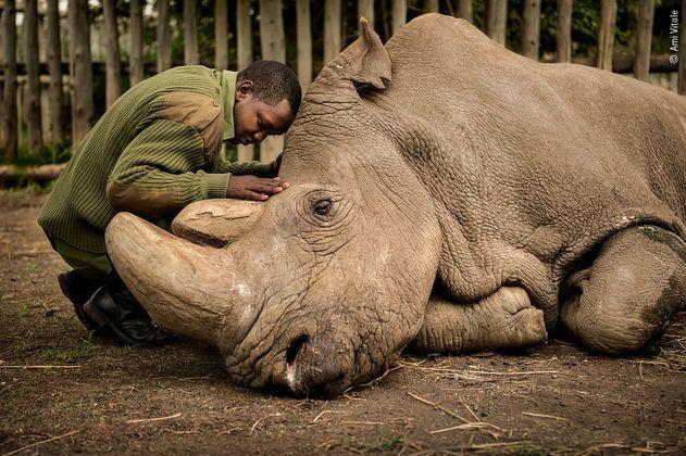 Crean embriones para salvar de la extinción al rinoceronte blanco del norte