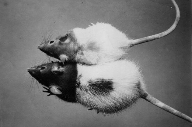 Estados Unidos dejará de hacer experimentos con ratones y otros mamíferos en 2035