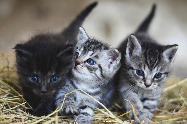 ¿Cuáles son las razas de gatos más amigables y cariñosas?