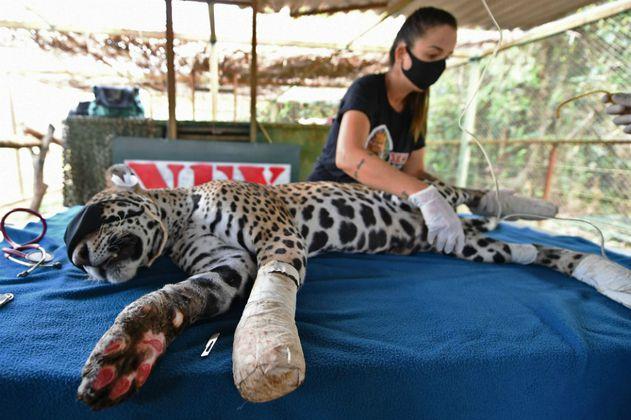 Amanaci, el jaguar herido por las llamas, fue tratado con células madre