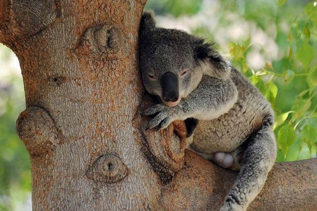 Cae población de Koalas: se redujo en 30% desde 2018