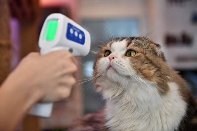 El extraño caso de Negrito, el primer gato con coronavirus de España