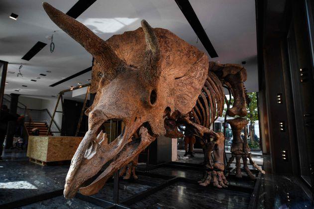 Subastan los fósiles del triceratops más grande conocido. La ciencia lo lamenta