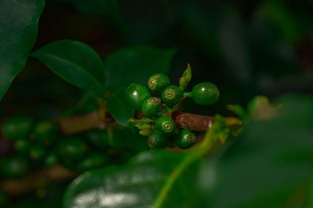 Una carta de amor al café: salvar el futuro de uno de los símbolos de Colombia