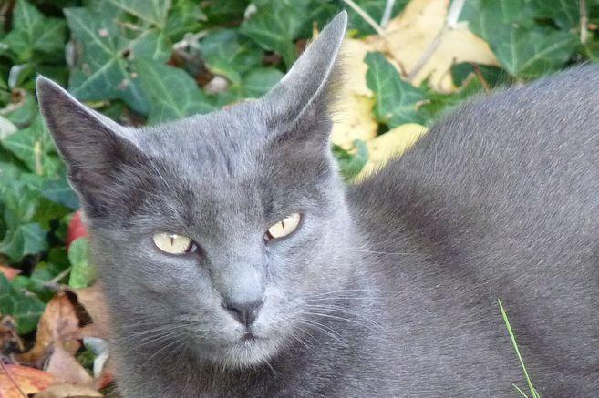 El Korat es considerado 'el gato de la suerte'.
