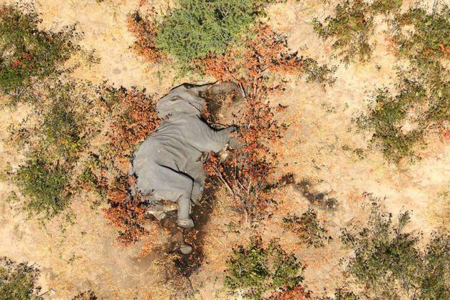 ¿Por qué se presentan muertes masivas de elefantes en África? Científicos estudian las causas