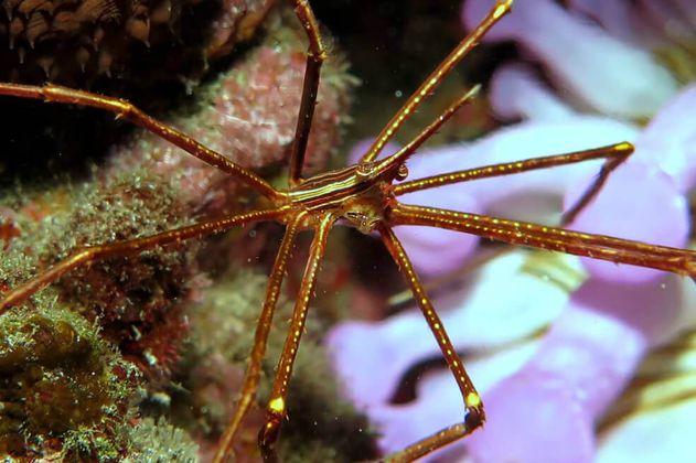 El secreto de las arañas marinas gigantes para sobrevivir al calentamiento de los océanos