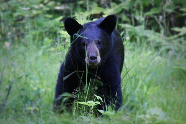 Una misteriosa infección hace que osos en EE.UU. actúen como perros amigables