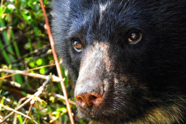 Piden protección para osos de anteojos que fueron vistos cerca al casco urbano de Segovia (Antioquia)