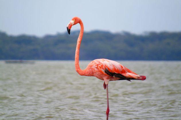 En fotos: cerca de 1000 flamencos llegaron a Santuario de Fauna y Flora en la Guajira