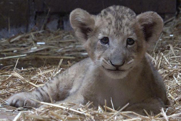 Simba, el cachorro de león que nació por inseminación artificial