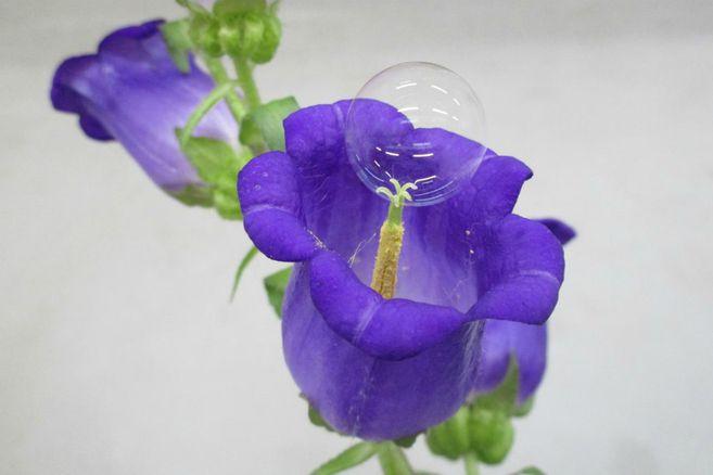 Polinización de una Campanula persicifolia usando la técnica de burbujas de jabón.
