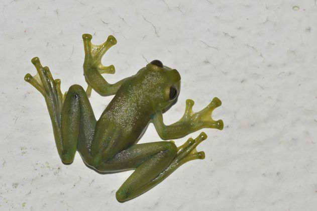 El baile de las ranas de cristal para atraer a las hembras en hábitats muy ruidosos