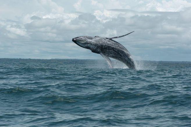 Las ballenas jorobadas están en el Pacífico colombiano desde finales de junio hasta octubre.