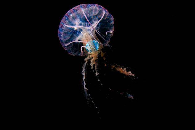 Por primera vez fotografían a una medusa ingiriendo plástico en el océano Atlántico