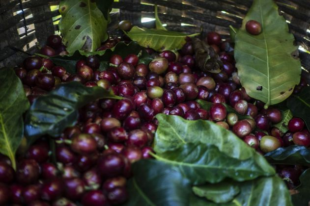 Producción de café repuntó 30 % en marzo y las exportaciones crecieron 21 %