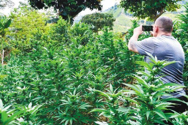 Marihuana, vieja guerra en el norte del Cauca