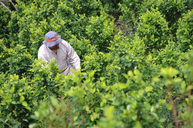 Coca en Colombia: menos hectáreas, mayor producción en 2020