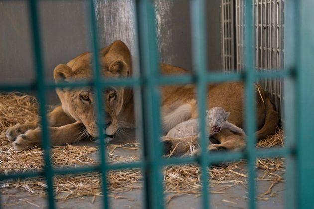 Leona rescatada de un zoológico sirio da a luz en Jordania