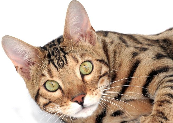 El gato bengala es de carácter abierto y juguetón con tendencia a investigarlo todo.