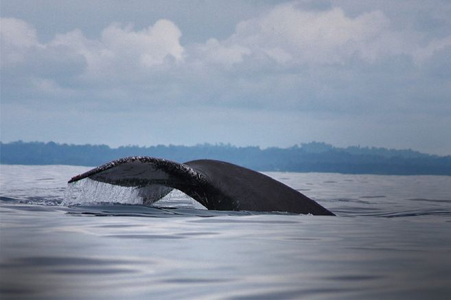 En el departamento de Nariño hay muy buenas ofertas para ver ballenas. Bocagrande es un pequeño paraíso lleno de biodiversidad.