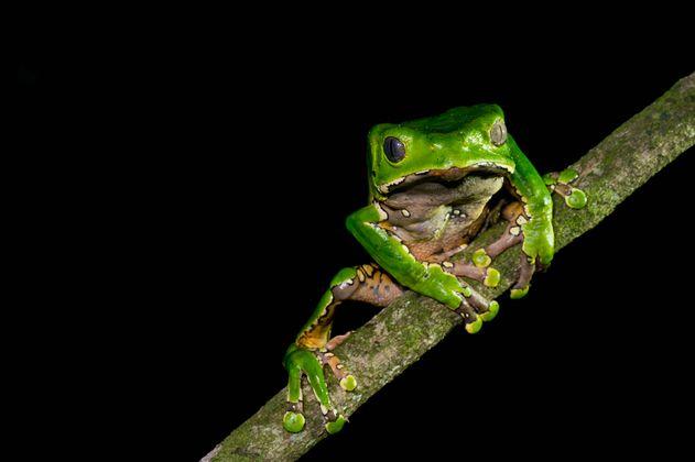 Denuncian extracción masiva de ranas mono en Amazonas