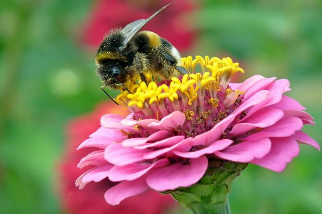 Los abejorros, otra especie en riesgo de extinción