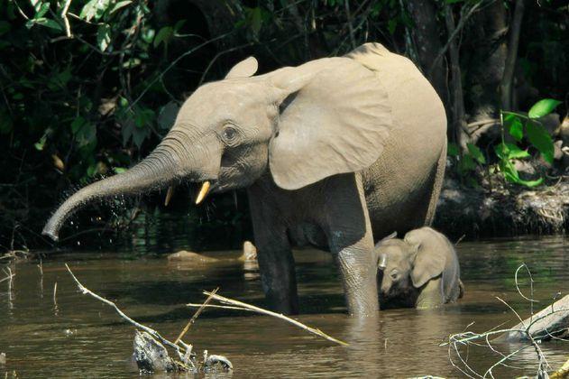 Dos especies de elefantes, en peligro de extinción