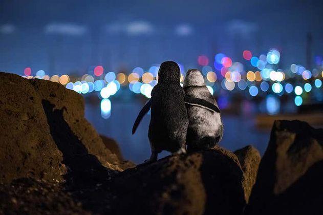 La historia detrás de los pingüinos viendo la ciudad de Melbourne