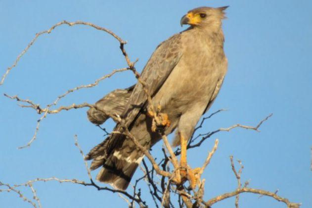 El águila coronada a punto de la extinción